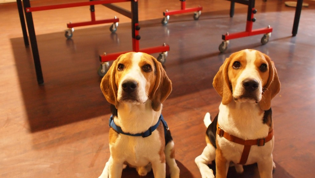 Cutest Beagles Ever at Cueblocks - Chatur and Carlos