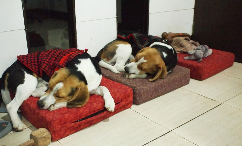 Beagle Brothers While Sleeping